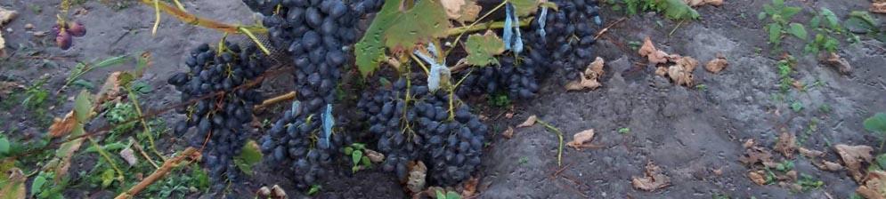 Спелые грозди винограда сфинкс вблизи на кусте