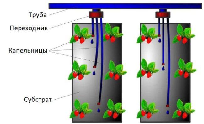 Схема размещения капельниц в вертикальных контейнерах при выращивании клубники по голландской технологии