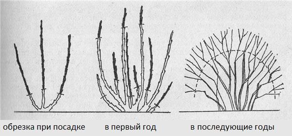 Схемы обрезки крыжовника во время посадки, в конце первого сезона и в последующие года жизни кустарника