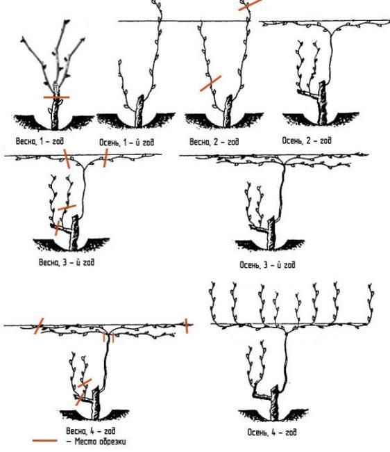 Схема обрезки винограда привитого на подземный ствол взрослого куста