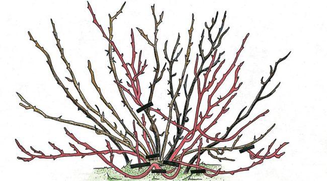 Схема обрезки взрослого куста крыжовника, вырезаемые старые ветки выделены другим цветом