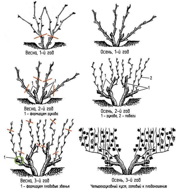 План обрезки виноградной лозы для формирования четырехрукавного куста, готового к обильного плодоношению