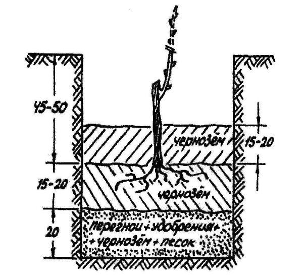 Схема посадочной ямы для черенка винограда, размеры лунки и правильной размещение саженца