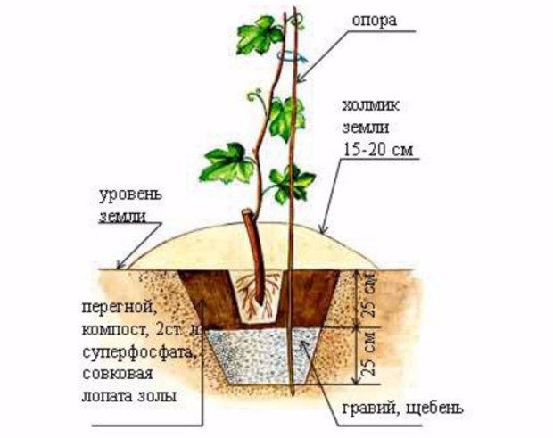Схема посадочной лунки для винограда с дренажным слоем щебня