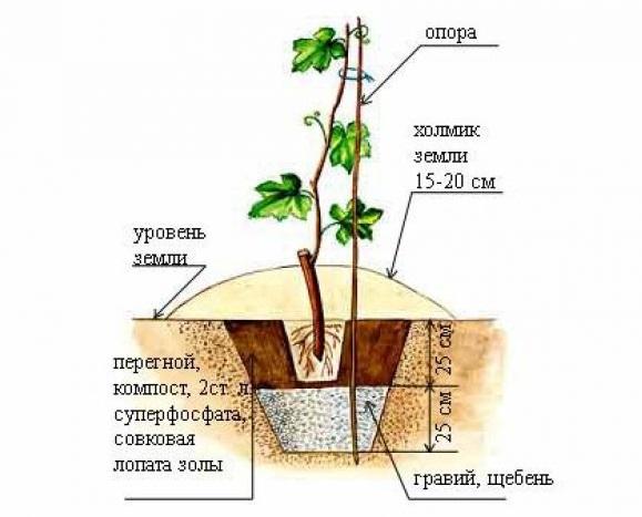 Схема размещения виноградного саженца в посадочной яме, состав питательной смеси и устройство дренажного слоя