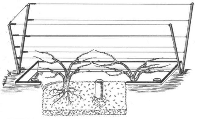 Схема посадки виноградных саженцев на шпалеру V-образной формы