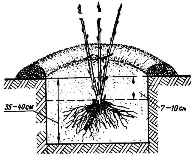 Схема размещения саженца крыжовника в посадочной яме, размеры лунки и глубина расположения корневой шейки