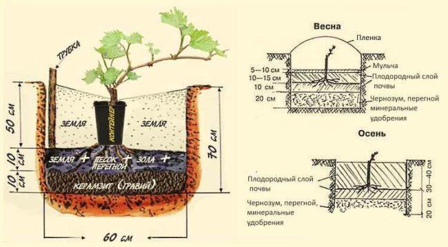 Схема и размеры посадочной ямы для саженца винограда