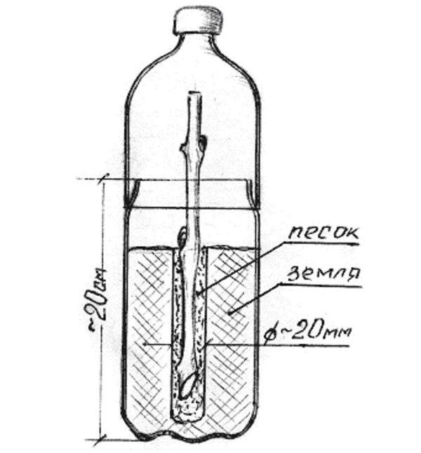 Схема посадки виноградного черенка в разрезанную пластиковую бутылку