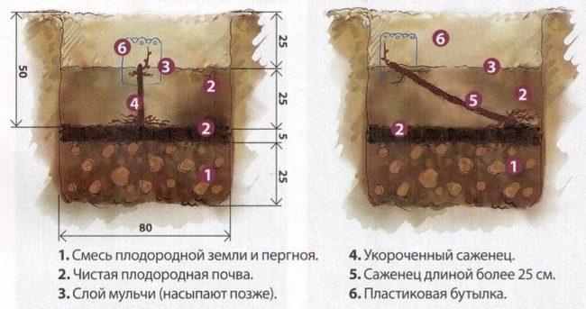 Схема посадочной ямы для саженцев винограда, размещение черенка вертикально и под наклоном