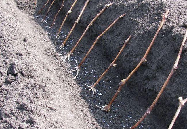 Черенки винограда длинной траншее, закладка школки для выращивания новых саженцев