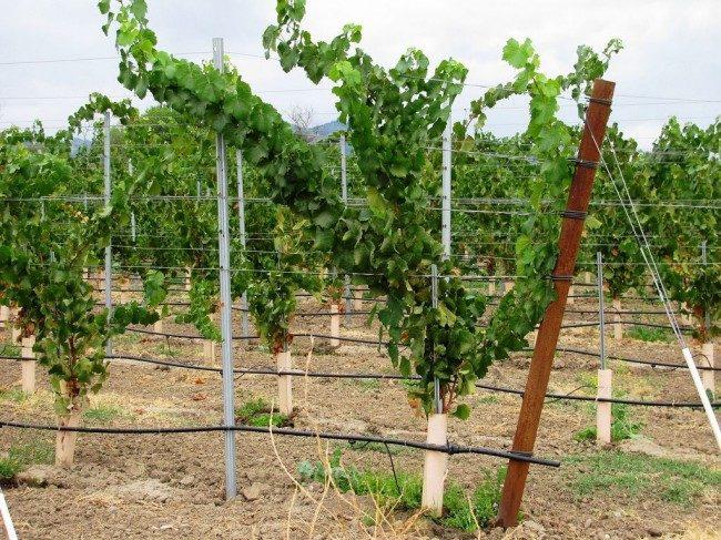На каком расстоянии сажать виноград на участке: интервалы 13