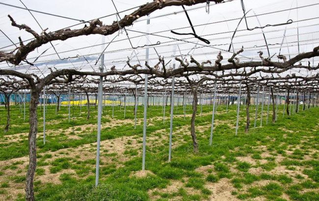 Горизонтальная шпалера шатрового типа и подвязанная лоза в хозяйстве, занимающимся коммерческим выращиванием