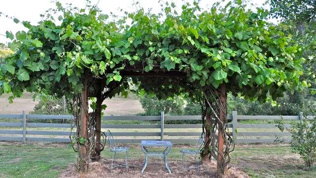 Виноградная лоза на шпалере арочного типа и садовый столик со стульчиками