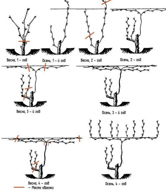 Схема поэтапной обрезки куста винограда при использовании метода штамбовой формовки