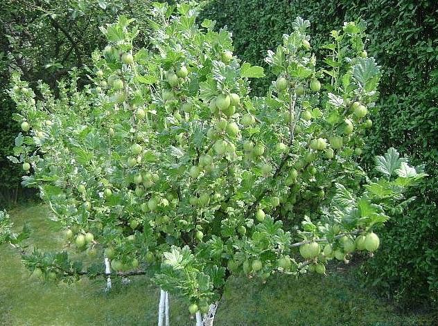 Крыжовник сорта английской селекции Инвикта в форме штамбового кустарника, выращивание в декоративных целях