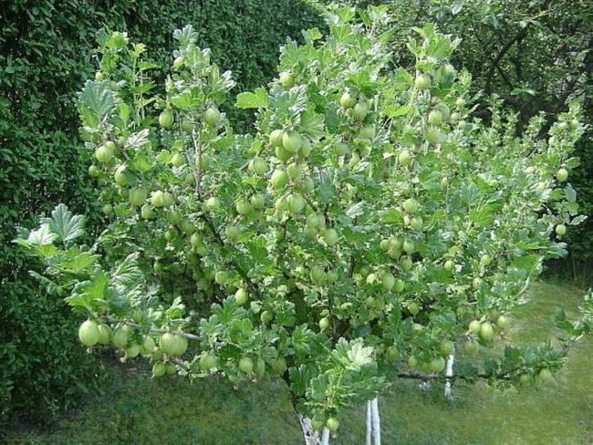 Крыжовник на штамбе, европейский способ выращивания популярной ягодной культуры