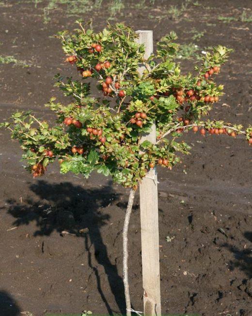 Штамбовый сорт крыжовника с ягодами и деревянный опорный столб