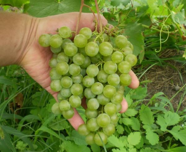 Первая сигнальная гроздь винограда технического сорта Магарача Цитронный в руке садовода