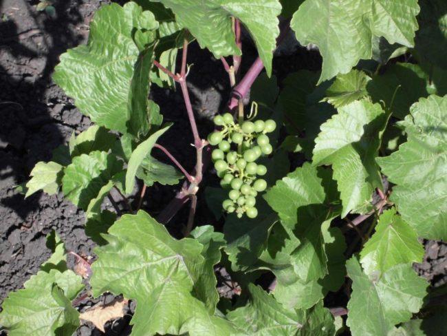 Первая гроздь после посадки саженца винограда сорта Платовский на постоянное место