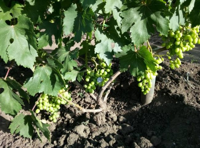Куст винограда и первые сигнальные кисти с зелеными плодами