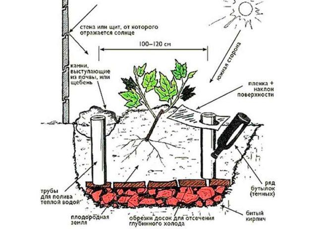 Подробная схема посадки винограда