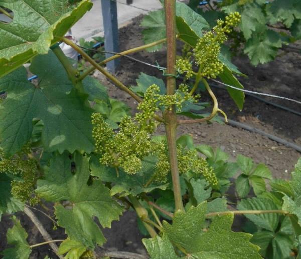Ветки винограда с цветущими кистями и проволочная шпалера