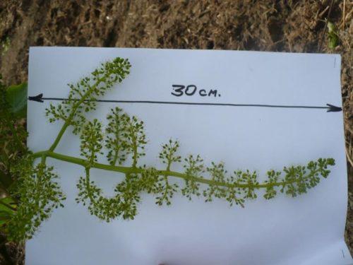 Завязи на кисти винограда длиной около 30 сантиметров американского сорта Кардинал