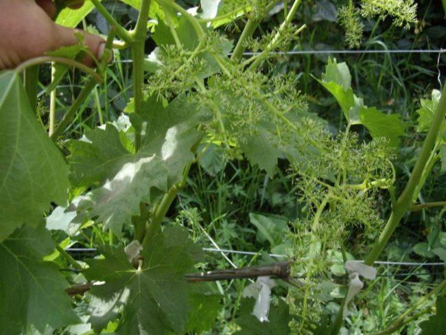 Зеленая ветка, листья и соцветие винограда на проволочной шпалере