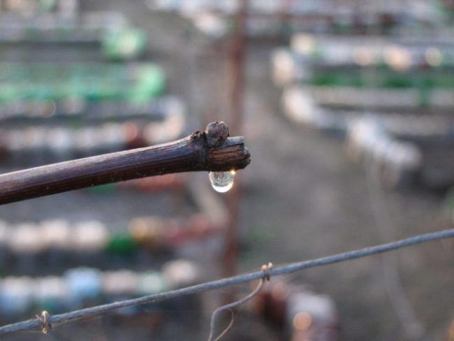 Капля весеннего сока на срезе виноградной ветки при неправильной обрезке лозы