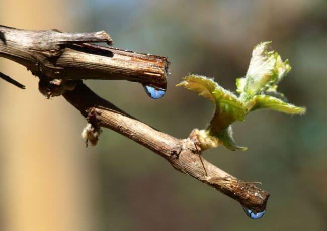 Обрезанные по весне ветки винограда с каплями сока и распускающаяся почка