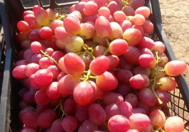 Грозди спелого винограда сорта Анюта в пластиковом ящике для продажи на рынке