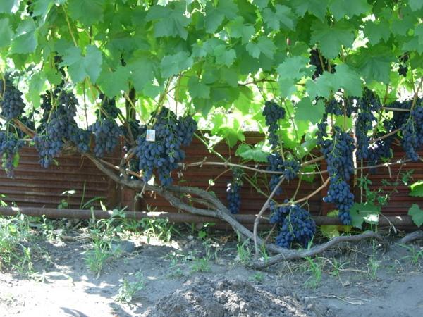 Фото виноградной лозы сорта Кодрянка в конце августа, средняя полоса России