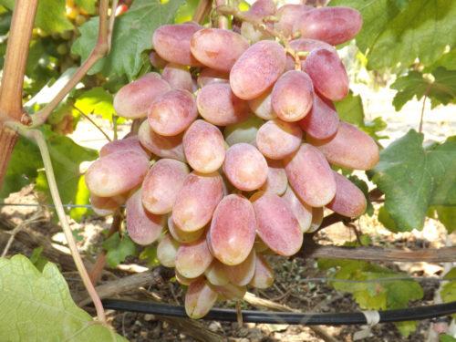 Крупные ягоды винограда на ветке сорта Юлиан