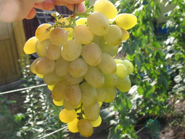 Рука держит крупную ветвь зелёного винограда