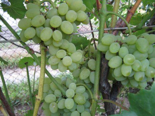 Крупняе ягоды сорта винограда Плевен растут на кусте