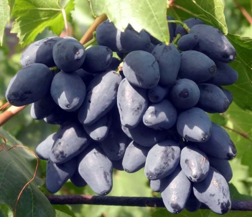 Крупные ягоды чёрного винограда сорта Ромбик на кисти сорт Ромбик