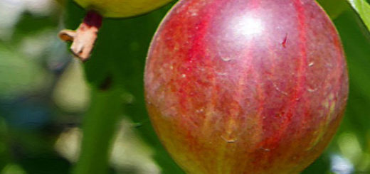 Спелая ягода крыжовника вблизи