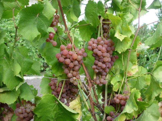 Полностью вызревшие грозди винограда технического сорта Платовский