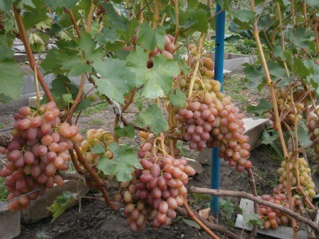 Виноградная лоза сорта Гелиос с наливающимися гроздями красно-розовых ягод