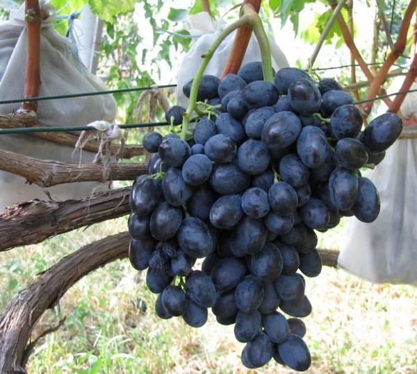 Гроздь темно-синего винограда и белые мешочки для защиты ягод от шершней и ос