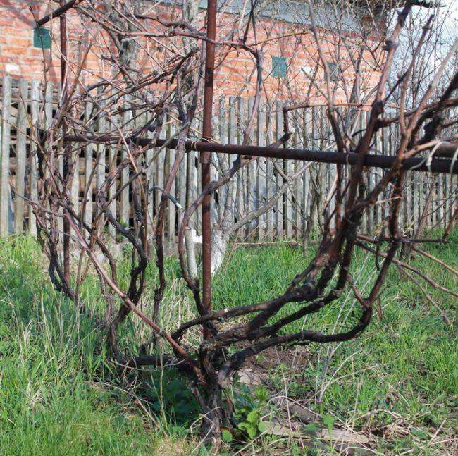 Старый куст запущенного винограда на шпалере из металлических труб и деревянный забор на заднем плане