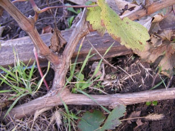 Прикорневой стебель винограда и растущие из него три толстые ветки