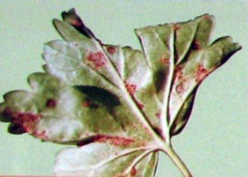 Листок крыжовника с пятнами, характерными для столбчатой ржавчиныы