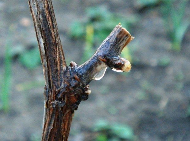 Обрезанный ранней весной сучок виноградной лозы и капля свежего сока на срезе