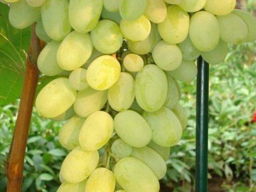 Крупные зелёные ягоды винограда на кисти