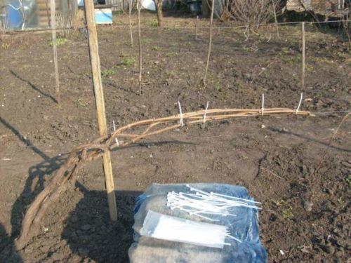 Свернутые дугой ветки винограда о пластиковые хомуты для вязки пучков