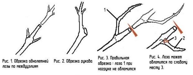 Схема правильной обрезки однолетней лозы и плодового рукава в весенний период