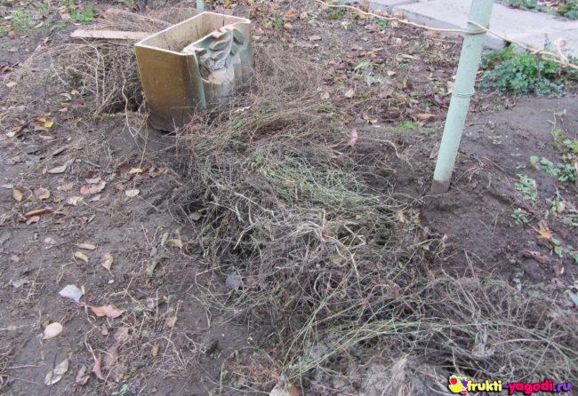 Укрытие на зиму винограда травой