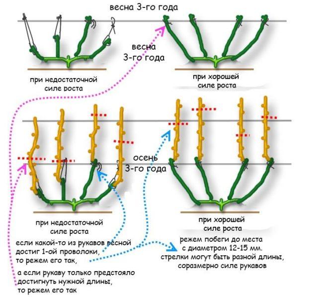 Схемы веерного формирования виноградной на третий год жизни, весенняя и осенняя обрезки